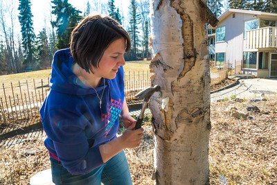 Nicole Dunham, a coordinator with OneTree Alaska, hammers a tap into a tree in front of the chancellor's residence on the UAF campus to collect birch sap. OneTree Alaska is an education and outreach program of the University of Alaska Fairbanks School of Natural Resources and Extension.  Filename: AAR-16-4874-119.jpg