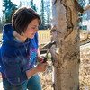 "Nicole Dunham, a coordinator with OneTree Alaska, hammers a tap into a tree in front of the chancellor's residence on the UAF campus to collect birch sap. OneTree Alaska is an education and outreach program of the University of Alaska Fairbanks School of Natural Resources and Extension.  <div class=""ss-paypal-button"">Filename: AAR-16-4874-119.jpg</div><div class=""ss-paypal-button-end""></div>"