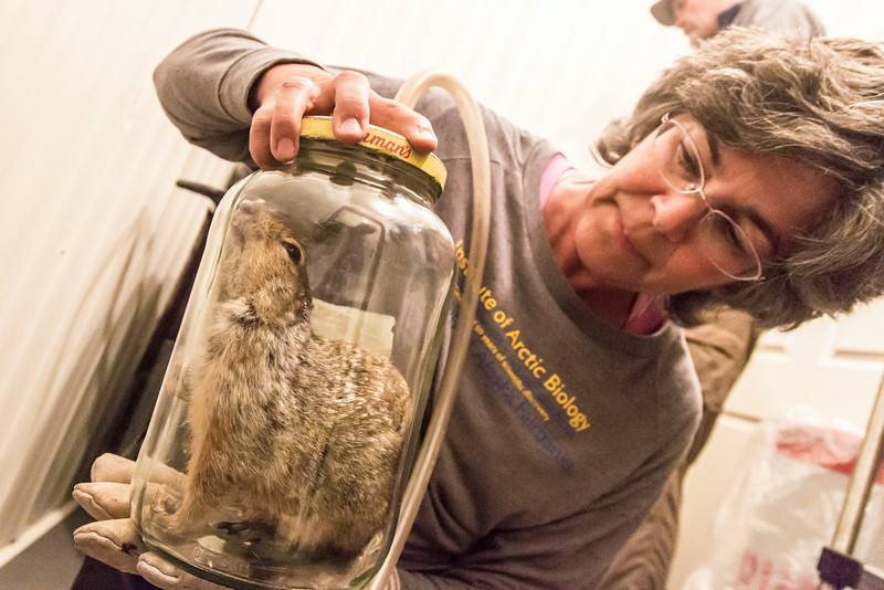 "Jeanette Moore, left, a research professional for UAF's Institute of Arctic Biology (IAB), prepares to attach a radio collar on an arctic ground squirrel before its released back into the wild at the Toolik Field Station, about 370 miles north of Fairbanks.  <div class=""ss-paypal-button"">Filename: AAR-14-4215-19.jpg</div><div class=""ss-paypal-button-end""></div>"