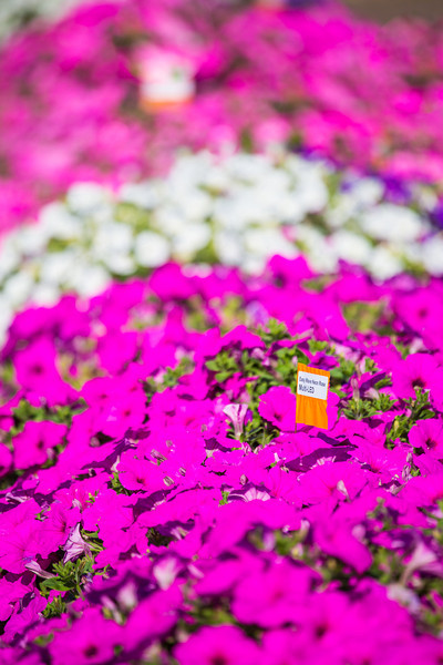 "Different varieties of petunias thrive under ideal conditions in a garden plot at the SNRAS Fairbanks Experiment Farm.  <div class=""ss-paypal-button"">Filename: AAR-12-3494-31.jpg</div><div class=""ss-paypal-button-end"" style=""""></div>"