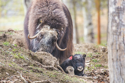 A mother musk oxen keeps close watch over her week-old calf in a pen at UAF's Large Animal Research Station.  Filename: AAR-14-4174-134.jpg
