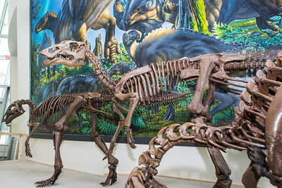 A mounted dinosaur skeleton display of Ugrunaaluk kuukpikensis, an arctic duck-billed hadrosaur, stands near the entrance of the University of Alaska Museum of the North.  Filename: AAR-16-4890-80.jpg