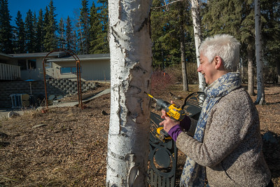 Jan Dawe, an instructor with OneTree Alaska, drills into a tree in front of the chancellor's residence on the UAF campus to collect birch sap. OneTree Alaska is an education and outreach program of the University of Alaska Fairbanks School of Natural Resources and Extension.  Filename: AAR-16-4874-096.jpg