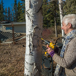 Jan Dawe, an instructor with OneTree Alaska, drills into a tree in front of the chancellor's residence on the UAF campus to collect birch sap. OneTree Alaska is an education and outreach pro ...