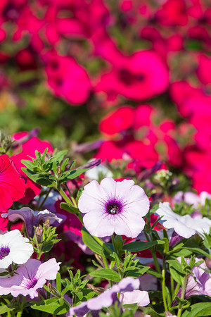 Different varieties of petunias thrive under ideal conditions in a garden plot at the SNRAS Fairbanks Experiment Farm.  Filename: AAR-12-3494-41.jpg