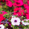 "Different varieties of petunias thrive under ideal conditions in a garden plot at the SNRAS Fairbanks Experiment Farm.  <div class=""ss-paypal-button"">Filename: AAR-12-3494-41.jpg</div><div class=""ss-paypal-button-end"" style=""""></div>"