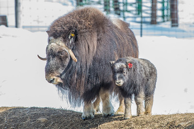 A 14-day-old muskox stays close to its mother at UAF's Large Animal Research Station.  Filename: AAR-13-3821-59.jpg