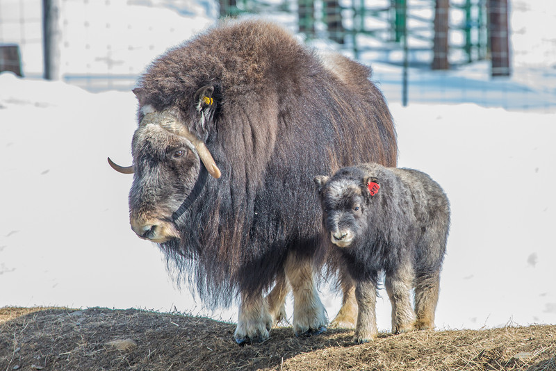 """A 14-day-old muskox stays close to its mother at UAF's Large Animal Research Station.  <div class=""""ss-paypal-button"""">Filename: AAR-13-3821-59.jpg</div><div class=""""ss-paypal-button-end"""" style=""""""""></div>"""