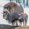 "A 14-day-old muskox stays close to its mother at UAF's Large Animal Research Station.  <div class=""ss-paypal-button"">Filename: AAR-13-3821-59.jpg</div><div class=""ss-paypal-button-end"" style=""""></div>"