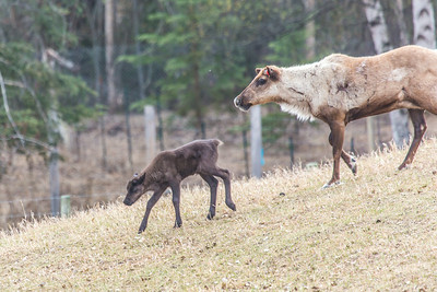 A mother reindeer keeps a close eye on her calf in a pen at UAF's Large Animal Research Station.  Filename: AAR-14-4174-152.jpg