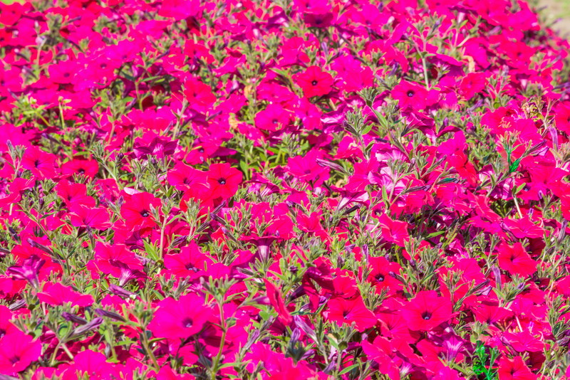 """Different varieties of petunias thrive under ideal conditions in a garden plot at the SNRAS Fairbanks Experiment Farm.  <div class=""""ss-paypal-button"""">Filename: AAR-12-3494-16.jpg</div><div class=""""ss-paypal-button-end"""" style=""""""""></div>"""