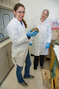 Senior biology major Colleen Bue assists Professor Kelly Drew with her research involving hibernating ground squirrels in Drew's lab in the Irving Building.  Filename: AAR-12-3309-59.jpg