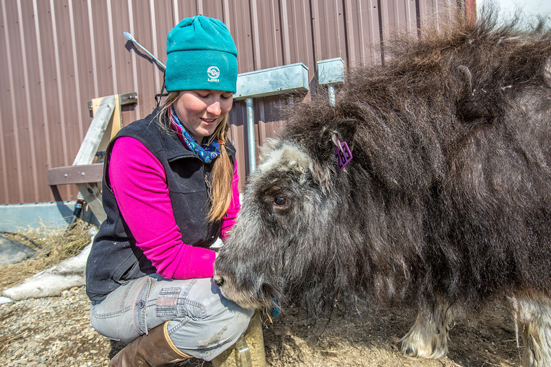 """Research technician Emma Boone interacts with Freja, a one-year-old female muskox, at UAF's Large Animal Research Station.  <div class=""""ss-paypal-button"""">Filename: AAR-13-3821-133.jpg</div><div class=""""ss-paypal-button-end"""" style=""""""""></div>"""