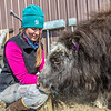 "Research technician Emma Boone interacts with Freja, a one-year-old female muskox, at UAF's Large Animal Research Station.  <div class=""ss-paypal-button"">Filename: AAR-13-3821-133.jpg</div><div class=""ss-paypal-button-end"" style=""""></div>"