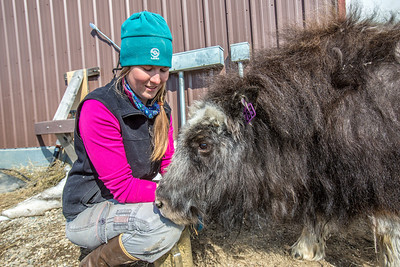 Research technician Emma Boone interacts with Freja, a one-year-old female muskox, at UAF's Large Animal Research Station.  Filename: AAR-13-3821-133.jpg