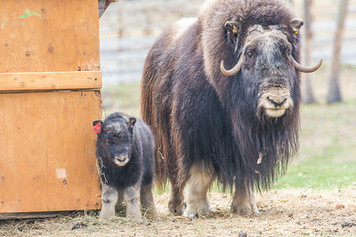 A mother musk oxen keeps close watch over her week-old calf in a pen at UAF's Large Animal Research Station.  Filename: AAR-14-4174-47.jpg