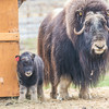 "A mother musk oxen keeps close watch over her week-old calf in a pen at UAF's Large Animal Research Station.  <div class=""ss-paypal-button"">Filename: AAR-14-4174-47.jpg</div><div class=""ss-paypal-button-end""></div>"