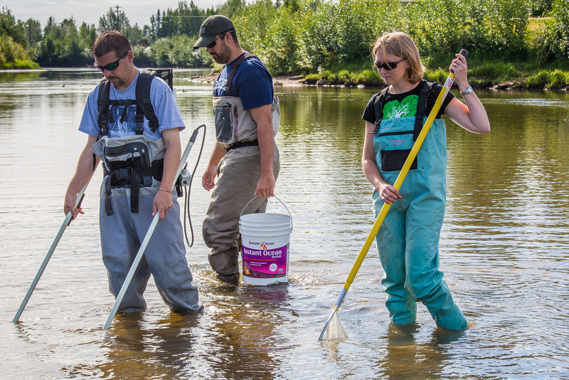 """Fisheries professor Trent Sutton, left, works with master's candidate Nick Smith and undergraduate Patty McCall collecting live samples from the Chena River for their research on the life dynamics of Arctic brook lampreys.  <div class=""""ss-paypal-button"""">Filename: AAR-12-3468-016.jpg</div><div class=""""ss-paypal-button-end"""" style=""""""""></div>"""