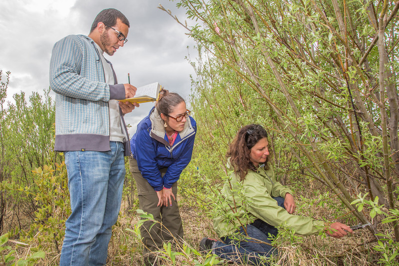 """Amanda Byrd, a research technician with the Alaska Center for Energy and Power, right, works with student interns collecting data on a plot of willows being grown on the experiment farm to study their potential use as a source of biofuel.  <div class=""""ss-paypal-button"""">Filename: AAR-13-3853-20.jpg</div><div class=""""ss-paypal-button-end"""" style=""""""""></div>"""