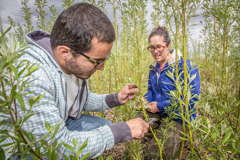 "Henrique Goncalves, left, and Desneige Hallbert collect data on a group of willows in a plot under cultivation on UAF's experiment farm. Interns with the Alaska Center for Energy and Power, the two are helping to monitor the growth of native plant species for their potential use as biomass fuels.  <div class=""ss-paypal-button"">Filename: AAR-13-3853-68.jpg</div><div class=""ss-paypal-button-end"" style=""""></div>"