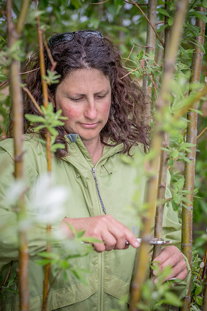 Amanda Byrd, a research technician with the Alaska Center for Energy and Power, collects data on a plot of willows being grown on the experiment farm to study their potential use as a source of biofuel.  Filename: AAR-13-3853-95.jpg