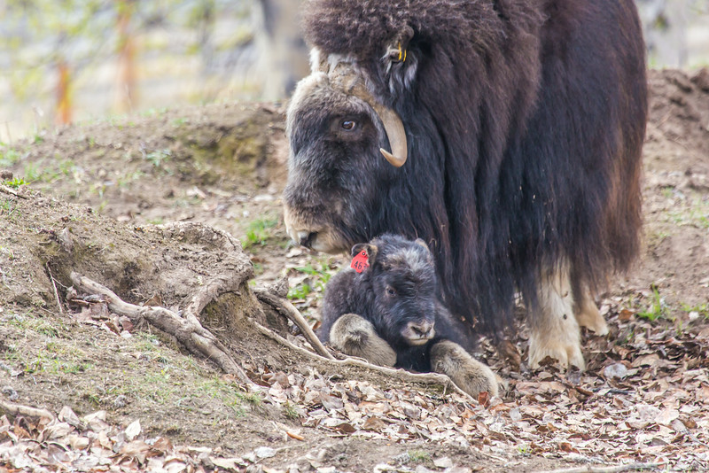 """A mother musk oxen keeps close watch over her week-old calf in a pen at UAF's Large Animal Research Station.  <div class=""""ss-paypal-button"""">Filename: AAR-14-4174-111.jpg</div><div class=""""ss-paypal-button-end""""></div>"""