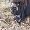 "A mother musk oxen keeps close watch over her week-old calf in a pen at UAF's Large Animal Research Station.  <div class=""ss-paypal-button"">Filename: AAR-14-4174-111.jpg</div><div class=""ss-paypal-button-end""></div>"