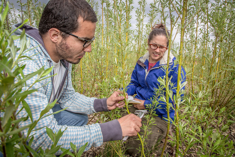 """Henrique Goncalves, left, and Desneige Hallbert collect data on a group of willows in a plot under cultivation on UAF's experiment farm. Interns with the Alaska Center for Energy and Power, the two are helping to monitor the growth of native plant species for their potential use as biomass fuels.  <div class=""""ss-paypal-button"""">Filename: AAR-13-3853-63.jpg</div><div class=""""ss-paypal-button-end"""" style=""""""""></div>"""