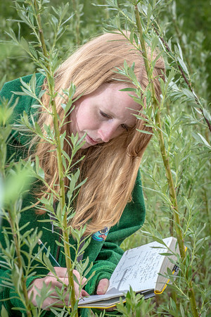 School of Natural Resources and Agricultural Sciences graduate student Haley McIntyre measures willows in a plot under cultivation on UAF's experiment farm. She's helping to monitor the growth of native plant species for their potential use as biomass fuels.  Filename: AAR-13-3853-53.jpg