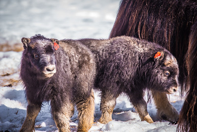A pair of 14-day-old muskoxen stay close to their mothers at UAF's Large Animal Research Station.  Filename: AAR-13-3821-157.jpg