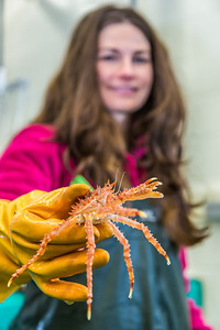 Fisheries major Christy Howard inspects one of the immature king crabs being kept for study at UAF's Lena Point facility near Juneau.  Filename: AAR-14-4058-37.jpg