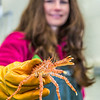 "Fisheries major Christy Howard inspects one of the immature king crabs being kept for study at UAF's Lena Point facility near Juneau.  <div class=""ss-paypal-button"">Filename: AAR-14-4058-37.jpg</div><div class=""ss-paypal-button-end"" style=""""></div>"