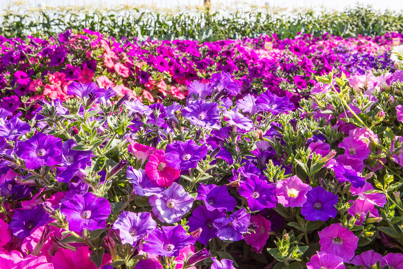 """Different varieties of petunias thrive under ideal conditions in a garden plot at the SNRAS Fairbanks Experiment Farm.  <div class=""""ss-paypal-button"""">Filename: AAR-12-3494-1.jpg</div><div class=""""ss-paypal-button-end"""" style=""""""""></div>"""