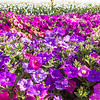 "Different varieties of petunias thrive under ideal conditions in a garden plot at the SNRAS Fairbanks Experiment Farm.  <div class=""ss-paypal-button"">Filename: AAR-12-3494-1.jpg</div><div class=""ss-paypal-button-end"" style=""""></div>"