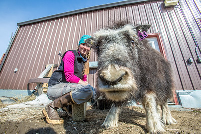 Research technician Emma Boone interacts with Freja, a one-year-old female muskox, at UAF's Large Animal Research Station.  Filename: AAR-13-3821-123.jpg