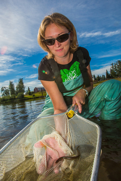 """Fisheries undergraduate student Patty McCall collect samples from the Chena River for a  research project on the life dynamics of Arctic brook lampreys.  <div class=""""ss-paypal-button"""">Filename: AAR-12-3468-054.jpg</div><div class=""""ss-paypal-button-end"""" style=""""""""></div>"""