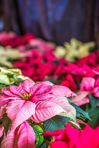 Holiday poinsettias are grown in the SNRAS greenhouse on UAF's West Ridge. The holiday plants are distributed to various offices around campus before the winter break.  Filename: AAR-12-3682-5.jpg