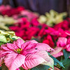 "Holiday poinsettias are grown in the SNRAS greenhouse on UAF's West Ridge. The holiday plants are distributed to various offices around campus before the winter break.  <div class=""ss-paypal-button"">Filename: AAR-12-3682-5.jpg</div><div class=""ss-paypal-button-end"" style=""""></div>"
