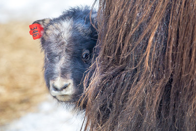 A 14-day-old muskox stays close to its mother at UAF's Large Animal Research Station.  Filename: AAR-13-3821-197.jpg