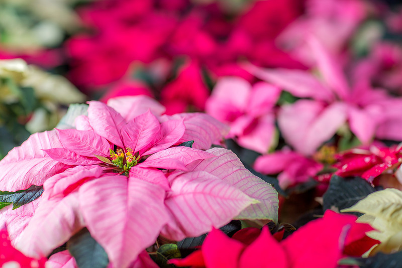 """Holiday poinsettias are grown in the SNRAS greenhouse on UAF's West Ridge. The holiday plants are distributed to various offices around campus before the winter break.  <div class=""""ss-paypal-button"""">Filename: AAR-12-3682-53.jpg</div><div class=""""ss-paypal-button-end"""" style=""""""""></div>"""