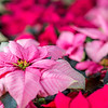 "Holiday poinsettias are grown in the SNRAS greenhouse on UAF's West Ridge. The holiday plants are distributed to various offices around campus before the winter break.  <div class=""ss-paypal-button"">Filename: AAR-12-3682-53.jpg</div><div class=""ss-paypal-button-end"" style=""""></div>"
