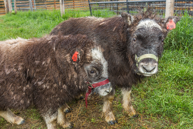 """A pair of young muskoxen inspect the camera and the photographer at UAF's Large Animal Research Station (LARS).  <div class=""""ss-paypal-button"""">Filename: AAR-15-4608-84.jpg</div><div class=""""ss-paypal-button-end""""></div>"""