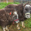 "A pair of young muskoxen inspect the camera and the photographer at UAF's Large Animal Research Station (LARS).  <div class=""ss-paypal-button"">Filename: AAR-15-4608-84.jpg</div><div class=""ss-paypal-button-end""></div>"