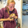 "Kate Wilsterman, a biology student at UC Berkeley, revives an anaesthetized arctic ground squirrel after she attached a radio collar before it's released back into the wild. Wilsterman helped conduct research on the squirrels at the Toolik Field Station in the summer of 2014.  <div class=""ss-paypal-button"">Filename: AAR-14-4215-43.jpg</div><div class=""ss-paypal-button-end""></div>"