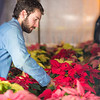 "Research Technician Cameron Willingham tends to the poinsettias being grown in the SNRAS greenhouse on UAF's West Ridge. The holiday plants are distributed to various offices around campus before the winter break.  <div class=""ss-paypal-button"">Filename: AAR-12-3682-54.jpg</div><div class=""ss-paypal-button-end"" style=""""></div>"