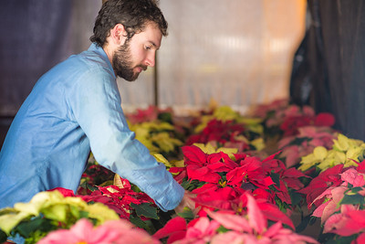 Research Technician Cameron Willingham tends to the poinsettias being grown in the SNRAS greenhouse on UAF's West Ridge. The holiday plants are distributed to various offices around campus before the winter break.  Filename: AAR-12-3682-54.jpg