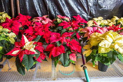 Holiday poinsettias are grown in the SNRAS greenhouse on UAF's West Ridge. The holiday plants are distributed to various offices around campus before the winter break.  Filename: AAR-12-3682-112.jpg