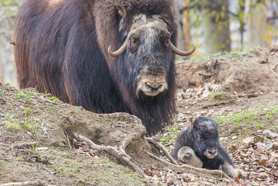 A mother musk oxen keeps close watch over her week-old calf in a pen at UAF's Large Animal Research Station.  Filename: AAR-14-4174-104.jpg
