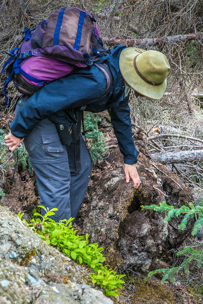 "Associate professor Margaret Darrow, inspects the vegitation growing on the front toe of several frozen debris lobes which have appeared along the Dietrich River valley in the southern Brooks Range  which could threaten the highway and the nearby trans-Alaska pipeline. The force of the lobe rolls up the topsoil on the ground like a carpet as it moves down the hill ever closer to the road.  <div class=""ss-paypal-button"">Filename: AAR-14-4214-416.jpg</div><div class=""ss-paypal-button-end""></div>"
