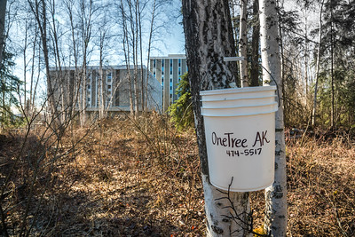 A bucket collects birch sap from a tree behind the chancellor's residence on the UAF campus. OneTree Alaska is an education and outreach program of the University of Alaska Fairbanks School of Natural Resources and Extension.  Filename: AAR-16-4874-089.jpg